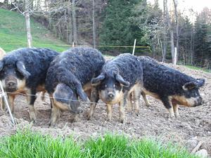 Wollschweine draussen